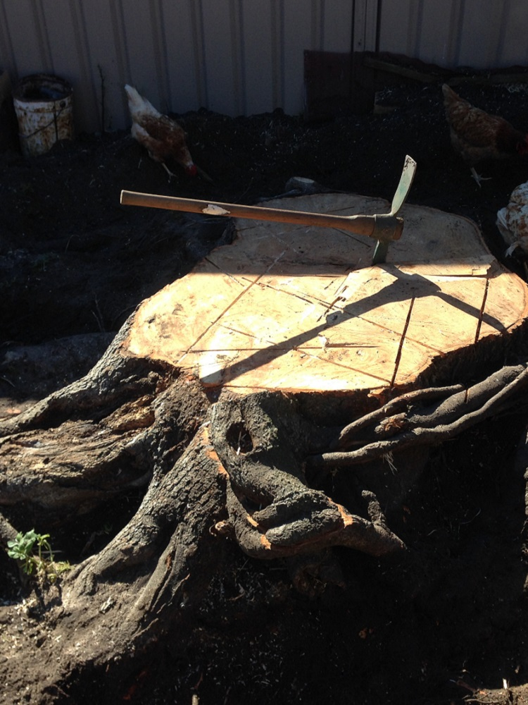 Big Liquid amber stump in the way of a new deck to be built Kariong