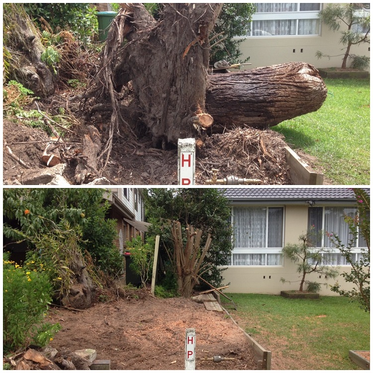 Before and After shot of a root ball from storm damaged tree Berkeley Vale